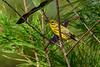 PrairieWarbler-OcalaNationalForest-11-7-19-SJS-002