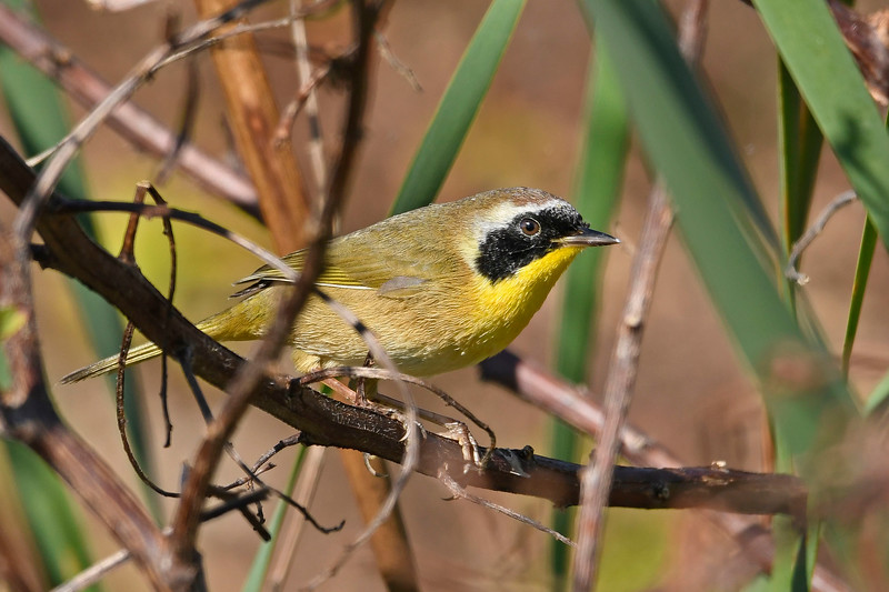 CommonYellowThroat-LAWD-12-7-18-SJS-001
