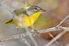 CommonYellow-Throat-LAWD-11-9-18-SJS-001