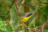 CommonYellowThroat(male)-EmeraldaMarsh 10-22-19-SJS-001