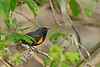 AmericanRedstart(female)-EmeraldaMarsh-10-11-19-SJS-002