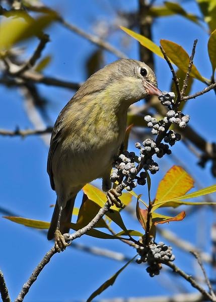 PineWarbler-SawgrassPreserveFL-11-17-18-SJS-001