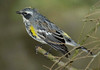 Yellow-rumpedWarbler-008