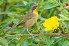 CommonYellowThroat-EmeraldaMarsh-10-10-19-SJS-011