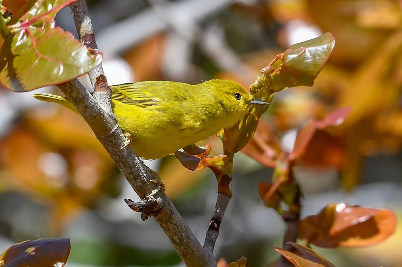 YellowWarbler-FortDeSoto-4-20-19-SJS-001