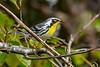 YellowThroatedWarbler-EmeraldaMarsh 10-22-19-SJS-002