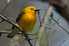 ProthonotaryWarbler-MageeMarsh-5-7-18-SJS-005