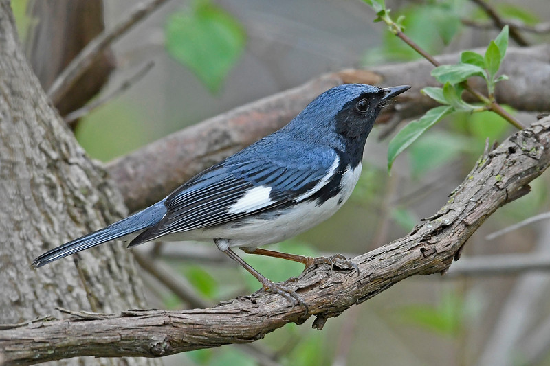 Black-ThroatedBlueWarbler-MageeMarsh-5-9-18-SJS-002