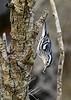 Black&WhiteWarbler-EmeraldaMarsh-1-3-19-SJS-002