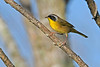 CommonYellow-Throat-LAWD-9-7-18-SJS-001