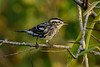 Black&WhiteWarbler-EmeraldaMarsh-10-16-19-SJS-001