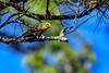 PineWarbler-PiedmontNWR-GrayGA-9-2-19-SJS-005
