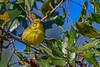 PrairieWarbler-OcalaNationalForest-11-7-19-SJS-005