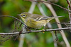 PineWarbler-EmeraldaMarsh 10-22-19-SJS-008