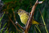 PalmWarbler-PineMeadows-11-24-19-SJS-001