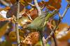 TennesseeWarbler-FortDeSoto-4-22-19-SJS-003