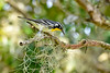 YellowThroatedWarbler-LYE-9-15-19-SJS-001