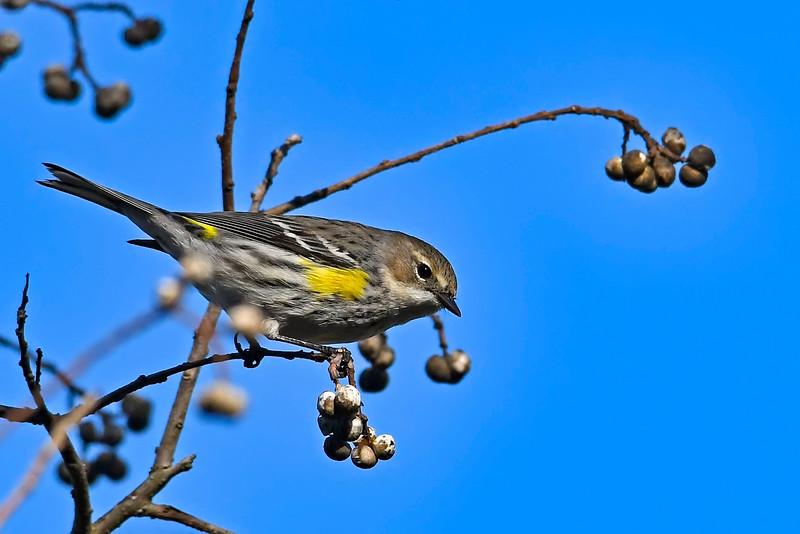 Yellow-RumpedWarbler-PineMeadowsCA-2-6-19-SJS-003