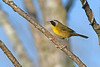 CommomYellowThroat-LAWD-9-7-18-SJS-001