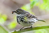 YellowRumpedWarbler-MageeMarsh-5-12-19-SJS-004