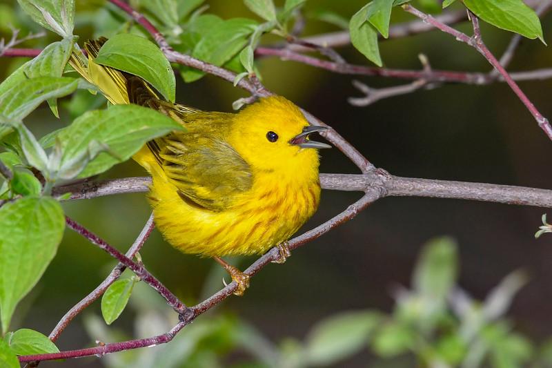 YellowWarbler-MageeMarsh-5-13-19-SJS-007
