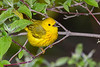 YellowWarbler-MageeMarsh-5-13-19-SJS-007