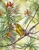 PineWarblerWarbler-OcalaNF-2-9-21-sjs-001