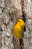 ProthonotaryWarbler-MageeMarsh-5-7-18-SJS-006