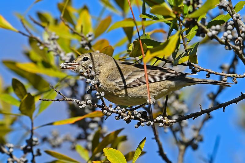 PineWarbler-SawgrassPreserveFL-11-17-18-SJS-005
