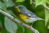 NorthernParula-PineMeadowsCA-6-17-20-SJS-01