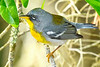 NorthernParula-PineMeadowsCA-3-8-19-SJS-005