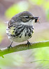 YellowRumpedWarbler-MageeMarsh-5-12-19-SJS-003