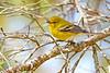 PineWarbler-OcalaNF-1-16-19-SJS-009