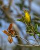PrairieWarbler-EmeraldaMarsh-10-6-20-sjs-05