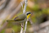 CommonYellowThroat-LAWD-1-13-18-SJS-001