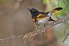 Redstart(male)-SawgrassPreserveFL-10-19-18-SJS-005