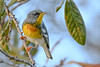 NorthernParula-LakeLouisaSP-3-4-20-SJS-005