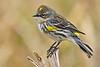 YellowRumpedWarbler-LAWD-2-3-18-SJS-012
