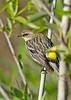 YellowRumpedWarbler-LAWD-Fl-3-17-17-SJS-004