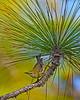 PineWarbler-OcalaNF-5-14-20-SJS-08