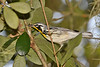 Yellow-ThroatedWarbler-HarryLeuGardens-9-5-18-SJS-002