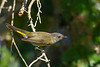 AmericanRedstart(female)-EmeraldaMarsh-10-11-19-SJS-001