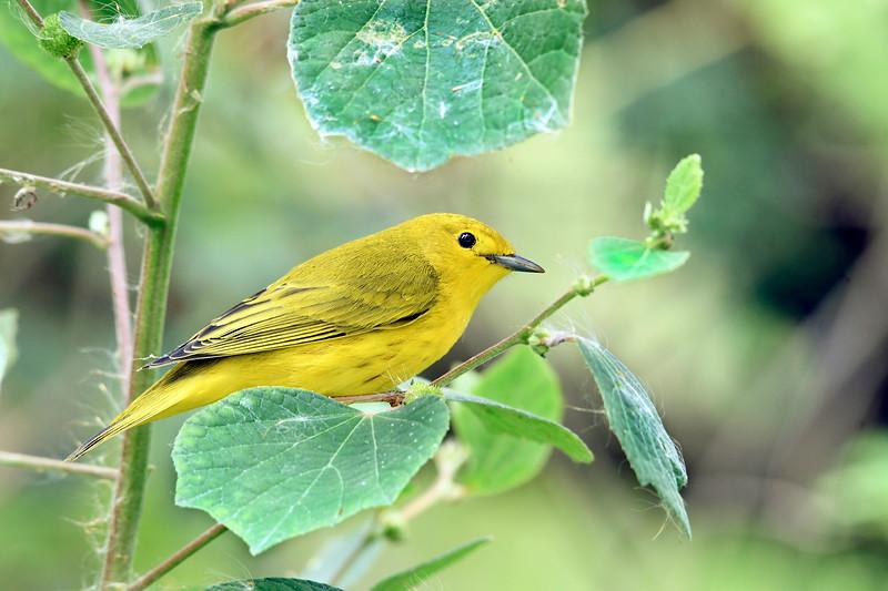 YellowWarbler-LAWD-9-21-19-SJS-004