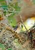 YellowRumpedWarbler-LakeYaleEstates-2-27-17-SJS-001
