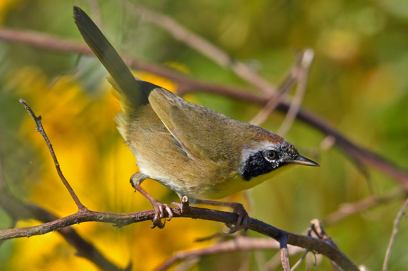 CommonYellowThroat-LAWD-12-7-18-SJS-009