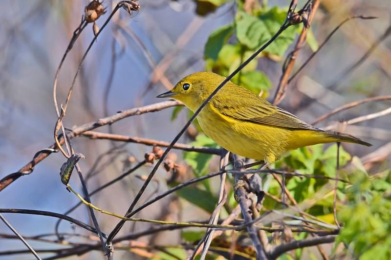 YellowWarbler-LAWD-11-23-18-SJS-01