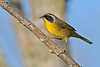 CommomYellowThroat-LAWD-9-7-18-SJS-005