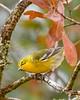 PineWarbler-OcalaNF-12-16-20-sjs-004