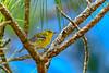 PineWarbler-OcalaNF-9-12-19-SJS-001