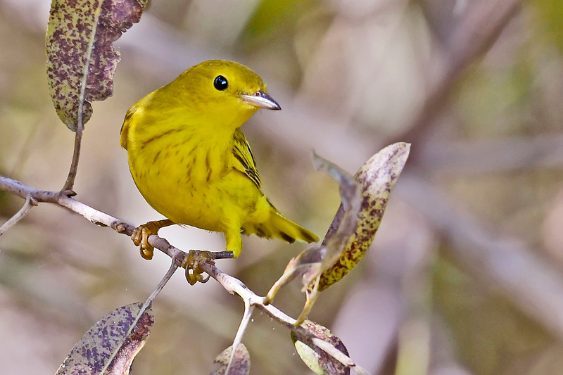 YellowWarbler-LAWD-9-7-18-SJS-003